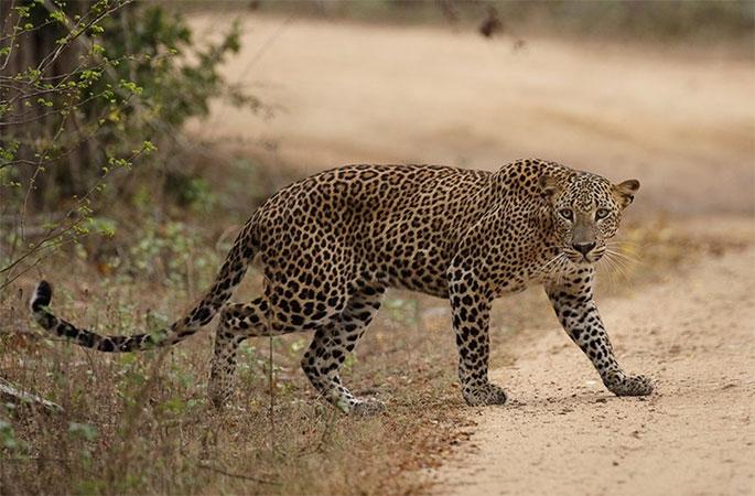 dec5a92882 Best Leopard Spotting in the World is in Sri Lanka